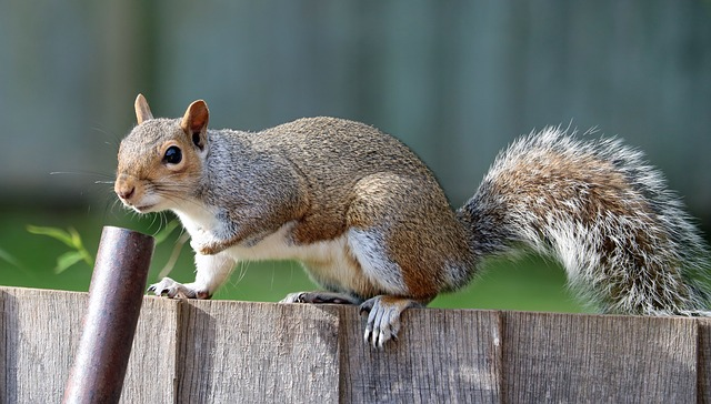 Squirrel control services Ann Arbor