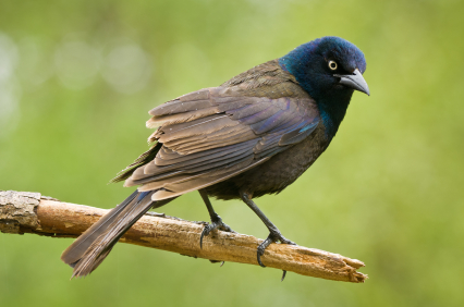 Bird Control Services in Ann Arbor