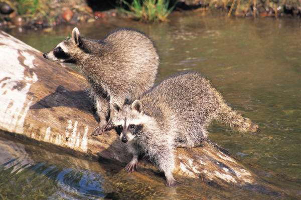 Raccoon infestation in Ann Arbor