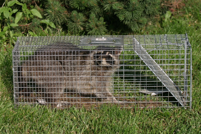 Raccoon in a trap.